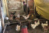 Halil amca tavukları için günlerdir gözyaşı döküyor