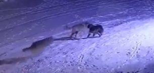 Aç kalan kurtlar köpeği yedi