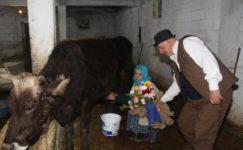 Eşinin Sevgililer Günü'nü ahırda inek sağarken kutladı