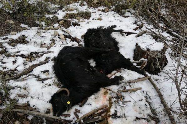 Kurtlar keçi sürüsüne saldırdı