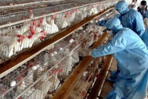 Koronavirüs Tavuklarda Var mı?