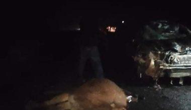 Otomobilin çarptığı sürüden 4 deve, telef oldu