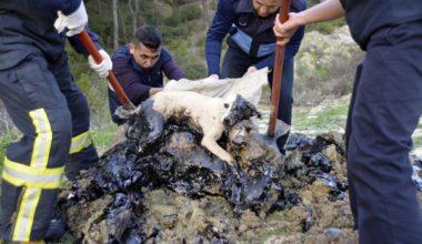 Zifte bulanan köpek ve 5 kaplumbağa kurtarıldı