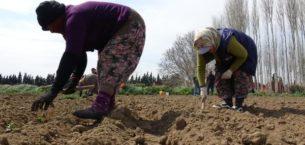 Çiftçiler, tarlada 'sosyal mesafe' ile üretimi sürdürüyor