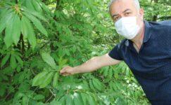 Ana vatanı Çin olan gal arısı, kestane ağaçlarına zarar veriyor