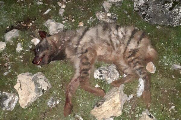 Çizgili sırtlanı köpeklere parçalatıp, tüfekle öldürdüler