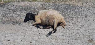 Elazığ'da tren sürüye çarptı: 21 hayvan öldü