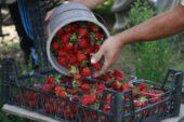Gıda mühendisi uyardı; çilekte görülen kurtçukların zararı yok