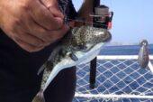 Olta balıkçılarına 'balon balığı' şoku