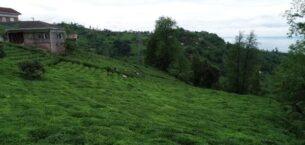 Sokağa çıkma yasağından muaf çay üreticileri bahçede