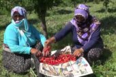 Saliha Nine, devlet desteğiyle 400 ağaçlı kiraz bahçesi kurdu