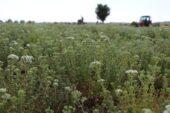 Türkiye'nin kekik ambarında hasat hareketliliği