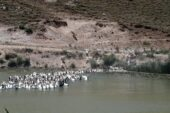 Van'da yetiştirilen Fransa kökenli kazlara yurt dışından talep