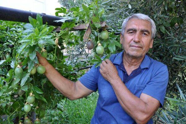 Passiflora meyvelerini 100 liradan satışa çıkardı