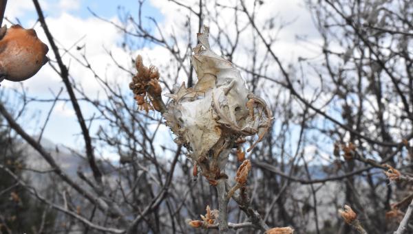 Sivas'ta, 'altın kelebek' zararlısına karşı 'ışıklı tuzak'