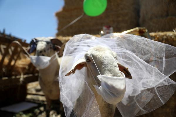 Yasaklar kalktı, kuzusu 'Sultan'a davullu zurnalı düğün yaptı