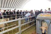 Balıkesir'de belediyeden yetiştiricilere damızlık koç dağıtımı