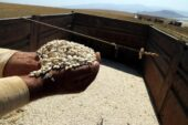 Bitlis'te kuru fasulye hasadı başladı; 30 bin ton ürün bekleniyor