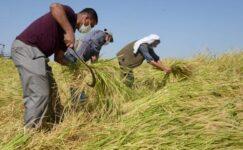 Karacadağ pirincinin ilk hasadı yapıldı