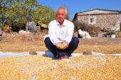 Manisa'da üretilen Antep fıstığında kuraklık nedeniyle rekolte düştü