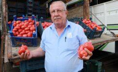 Salçalık domatesin kasası halde 15 lira