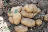 Yozgat'ta 8 çeşit yerli patates hasadı yapıldı