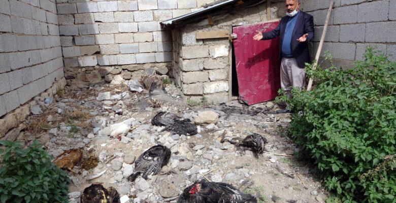 Kümese giren sokak köpekleri, 17 hindiyi telef etti
