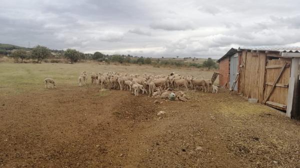 Biga'da hayvanlarda çiçek hastalığı çıktı; 15 köy karantinaya alındı