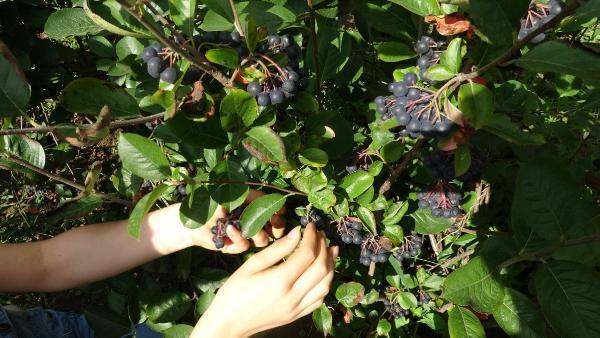 Karadeniz'in yeni meyvesi 'Aronya'da ilk hasat
