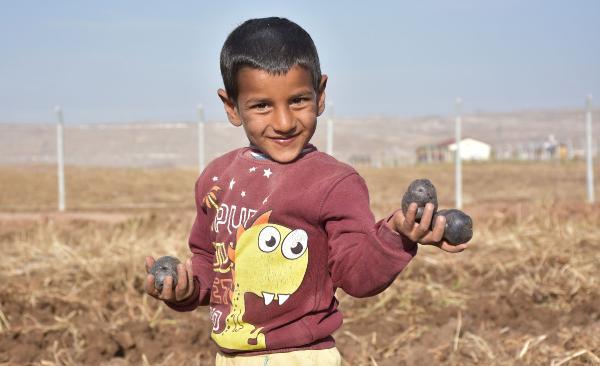 Sivas'ta yerli mor patates hasadı gerçekleştirildi