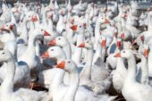 Adana'da hobi için beslediği kazlarla çiftlik kurdu, Türkiye'nin her yerine gönderiyor