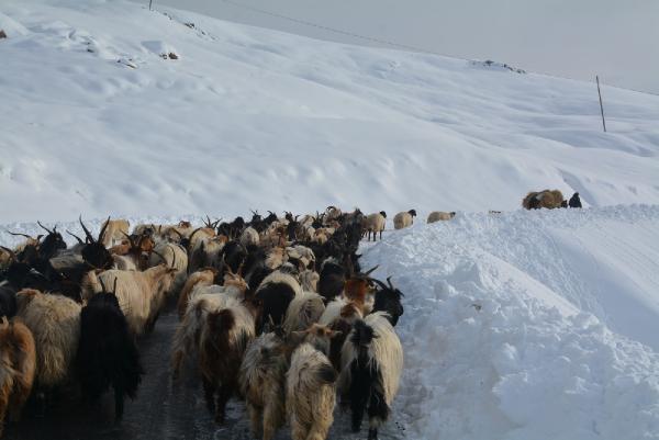 Hakkari'de karda mahsur kalan çoban ve koyunlar kurtarıldı