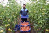 'Kışın üretilen domates zehir' iddiasına, üreticiden videolu tepki