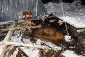 Yoğun kar yağışının ardından 2 ağıl çöktü, 9 büyükbaş telef oldu