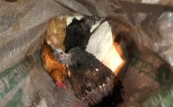 Sırtındaki çuvaldan çaldığı 10 tavuk çıktı