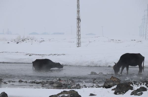 Çaldıran'da mandalar, Kaz Gölü'ndeki yosunlarla besleniyor