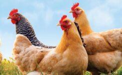 Japonya'da kuş gribi rekor seviyede: 5.8 milyon tavuk itlaf edildi