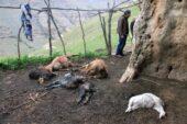 Şırnak'ta kurtlar, sürüye saldırdı; 25 keçi öldü, 15'i yaralı