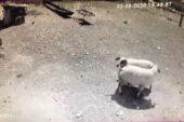 Kafa kafaya tokuşan iki koç öldü: O anlar kamerada