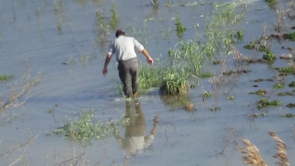 Çanakkale'de ıspanak su altında kaldı, fiyatı 8 liraya çıktı