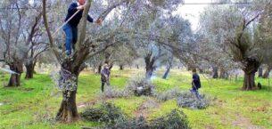 Asırlık zeytin ağacının verimindeki sır; budama