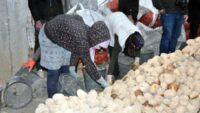 Ahlat'tan günde 50 kamyon patates sevkiyatı