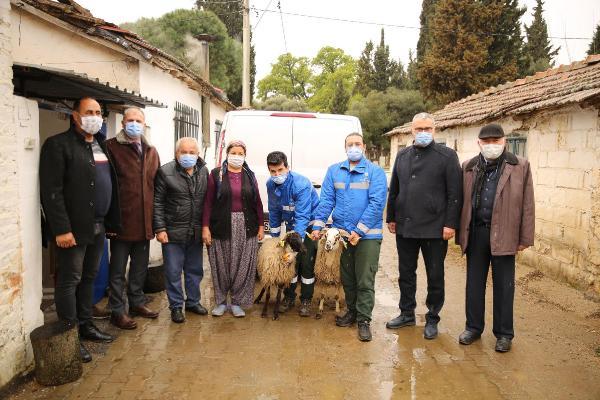 Nesli tükenmekte olan Çine çaparı koyunlar çoğaltıldı