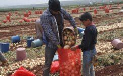 Reyhanlı'da kuru soğan hasadı başladı