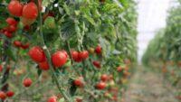 Rusya'ya domates kotası yine doldu
