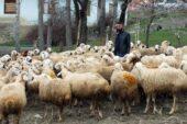 Yozgat'ta 48 üreticiye 100'er koyun