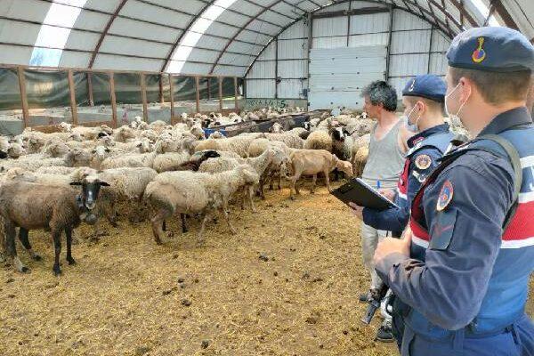 Çoban, çalıştığı çiftlikten 13 koyun çaldı