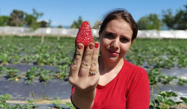 'Kırmızı elmas' hasadı başladı; 4 ülkeye ihraç edilecek