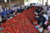 7 bin tarım işçisi, geçimini biberden kazanıyor