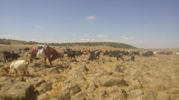 Ağıldan kaçan keçilere kurtlar saldırdı